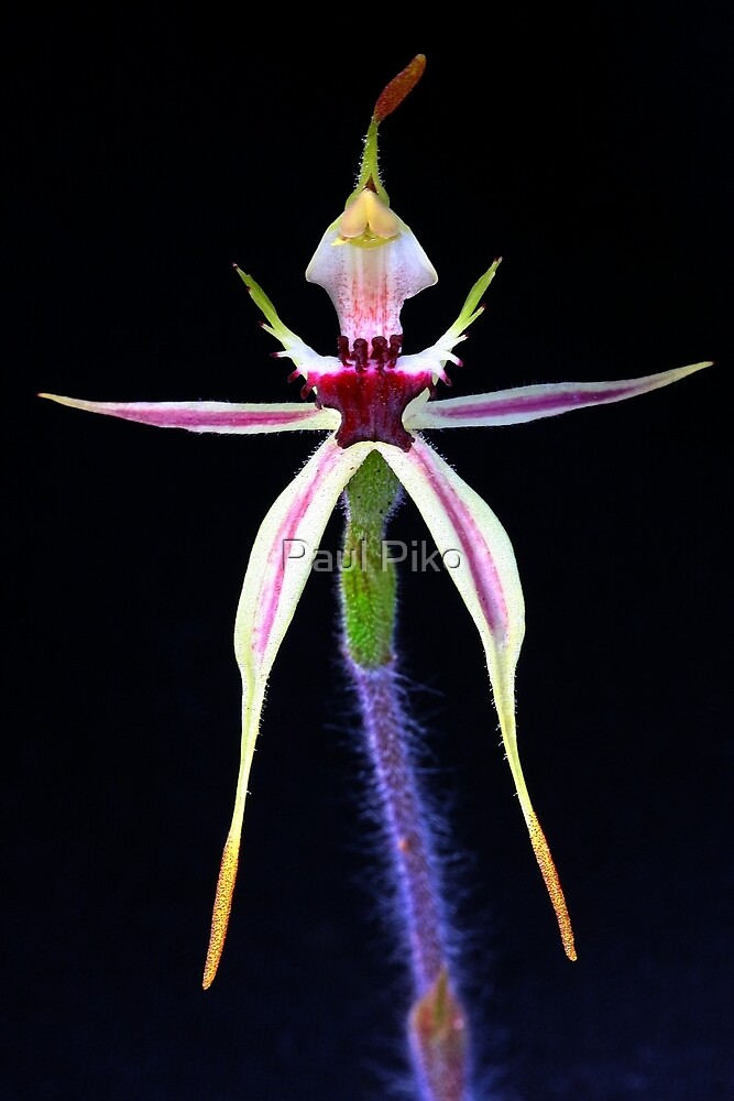 Small Spider Orchid - Arachnorchis parva by Paul Piko