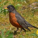 American Robin (True Thrush) by AnnDixon