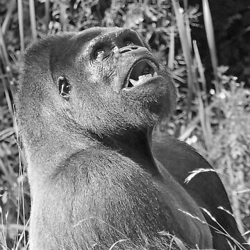 """An intimate portrait close-up 11 (n&b) (h) """"Back Silver"""" A gorilla who is the star of the day .... by caillaudolivier"""