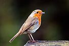 Close up of a Robin gathering food by Sara Sadler