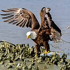 Eagle Catches Fish by TJ Baccari Photography