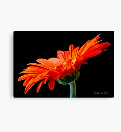 Orange Gerbera Daisy Canvas Print