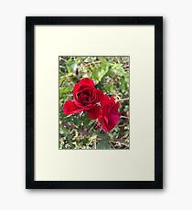 Field rose  Framed Print