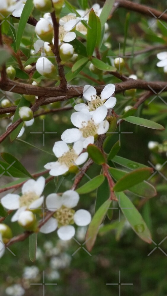 Australian native white blossoms in the bush by Colour Angel by KV