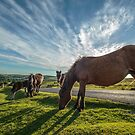 The Horses of Dartmoor, Dartmoor National Park, England by fotosic