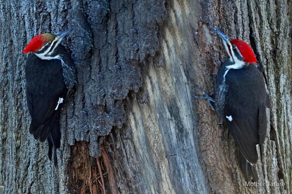 Pileated Woodpecker Pair - Hylatomus pileatus by MotherNature