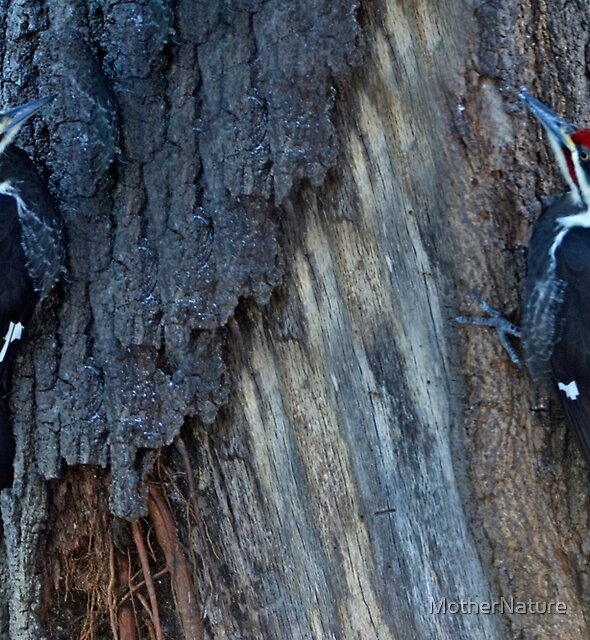 Pileated Woodpecker Pair - Hylatomus pileatus by MotherNature