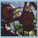 Gorgeous Gumnuts by KazM
