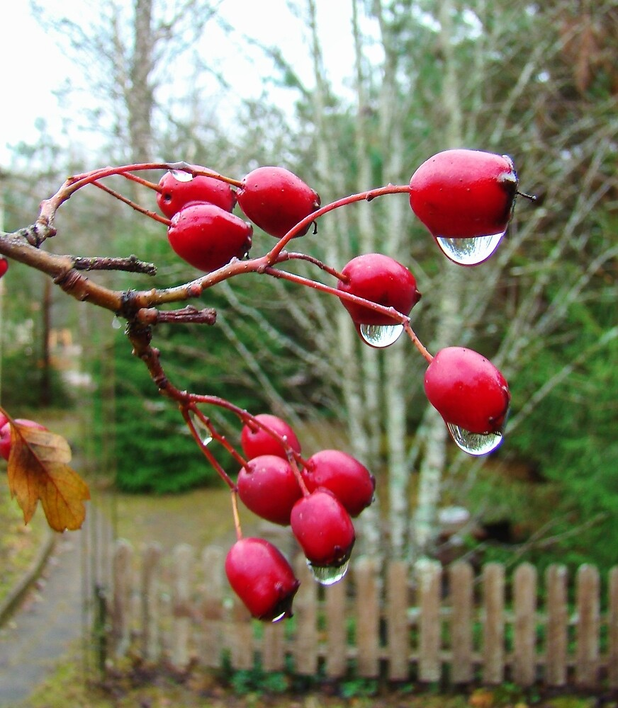 Drops on the berries. by GermanS