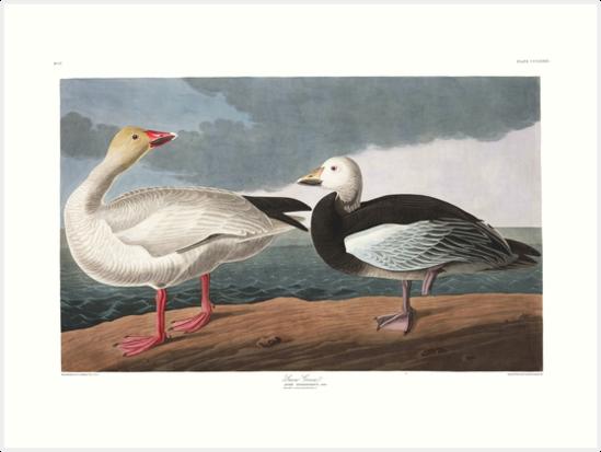 Snow Goose - John James Audubon by billythekidtees