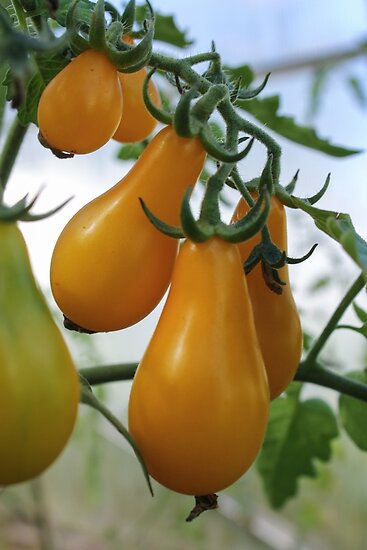 Branch yellow pear tomatoes/ by GermanS