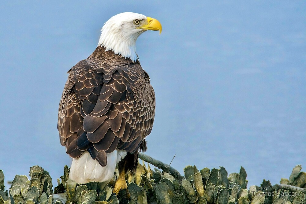 Eagle Right in Front of Me by TJ Baccari Photography