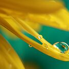 Wet Yellow Daisy petal and Blue by April Webb