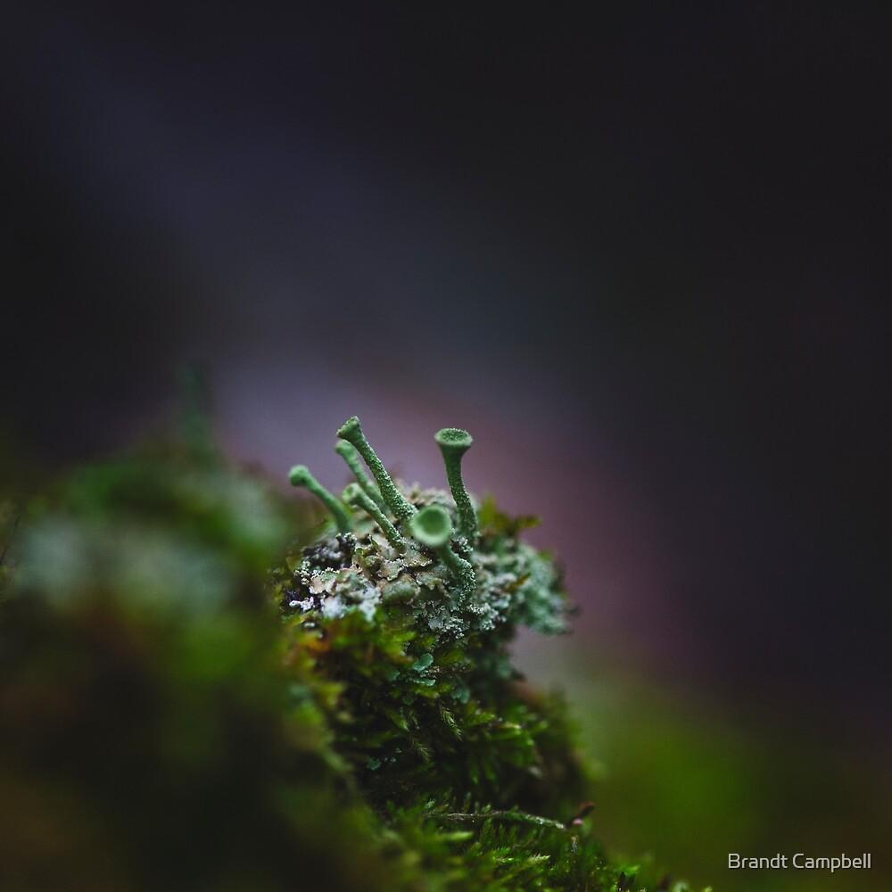 Cladonia Fimbriata by Brandt Campbell