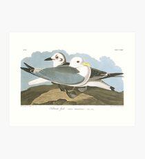 Black-legged Kittiwake - John James Audubon Art Print