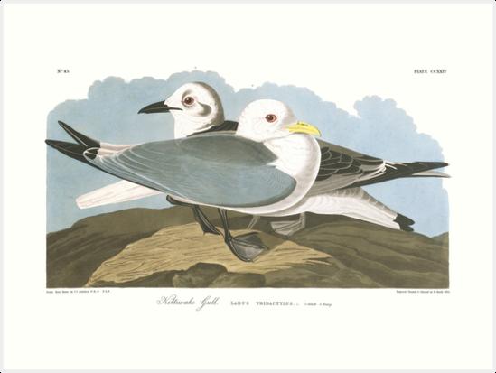 Black-legged Kittiwake - John James Audubon by billythekidtees
