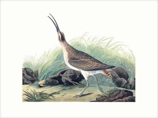 Whimbrel - John James Audubon by billythekidtees