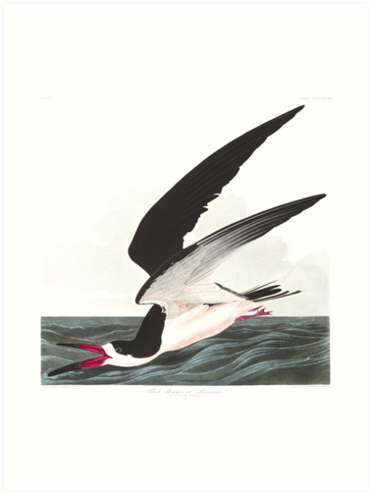 Black Skimmer - John James Audubon by billythekidtees