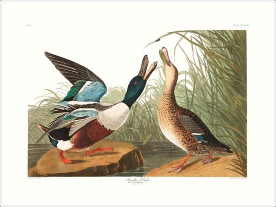 Northern Shoveler - John James Audubon by billythekidtees