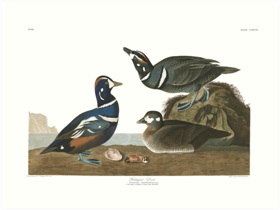 Harlequin Duck - John James Audubon by billythekidtees
