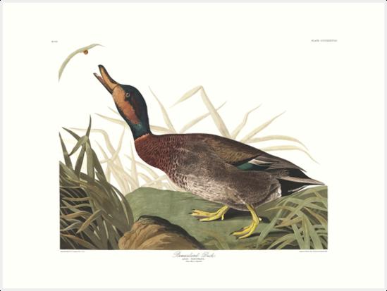 Brewer's Duck - John James Audubon by billythekidtees