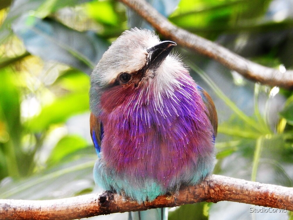 lilac breasted roller  by StudioCorvid