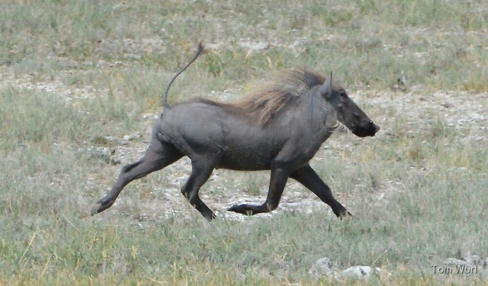 Galloping Warthog by Tom Wurl