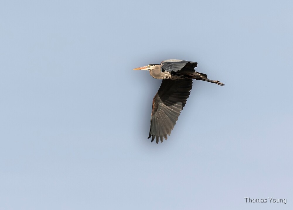 Great Blue Heron 2015-12 by Thomas Young