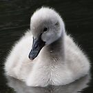 Cygnet by Josh Bush