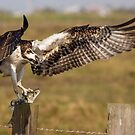 Osprey with Catch by SuddenJim