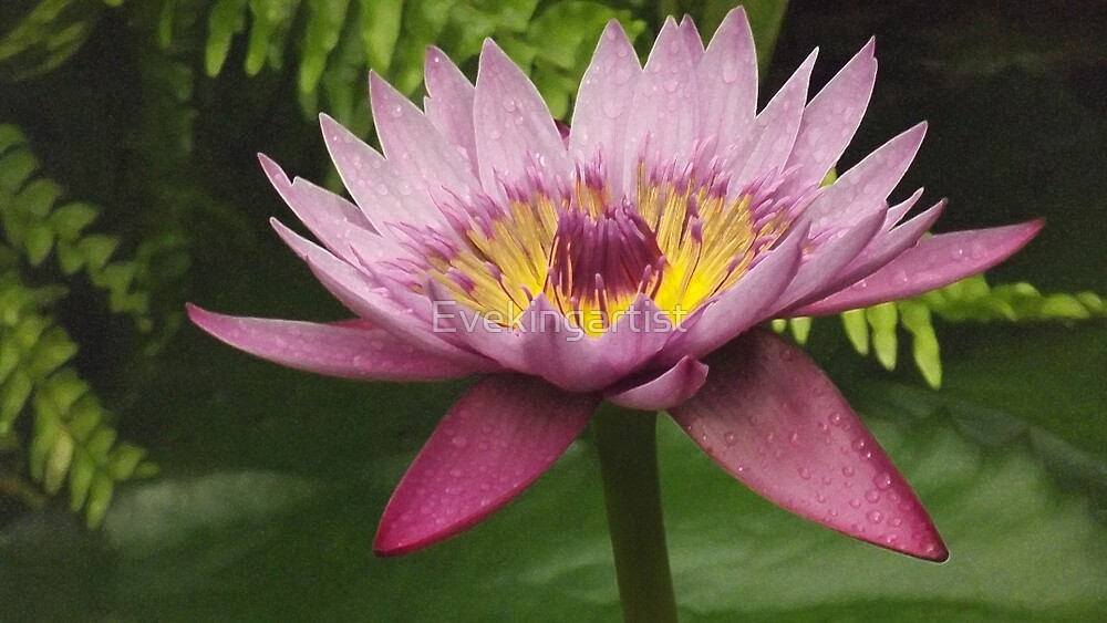 Waterdrops on a waterlily by Eve King