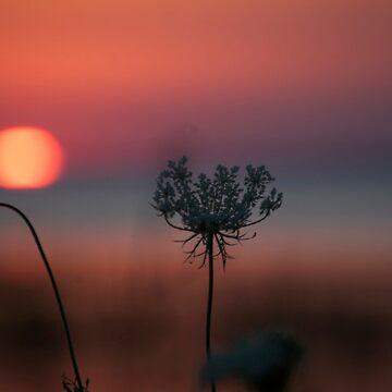 Queen Ann's Lace Sunset by alyssajames18