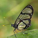Spotted Glass Wing - (Metona Grandiosa) Mindo Ecuador by john  Lenagan