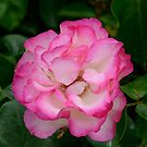 Strawberry Ice rose by DebbyScott