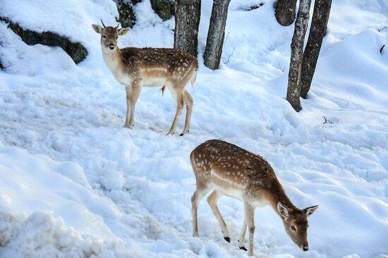 Fallow Deer siblings..... by Poete100
