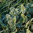Frost on Nettles by Sue Robinson