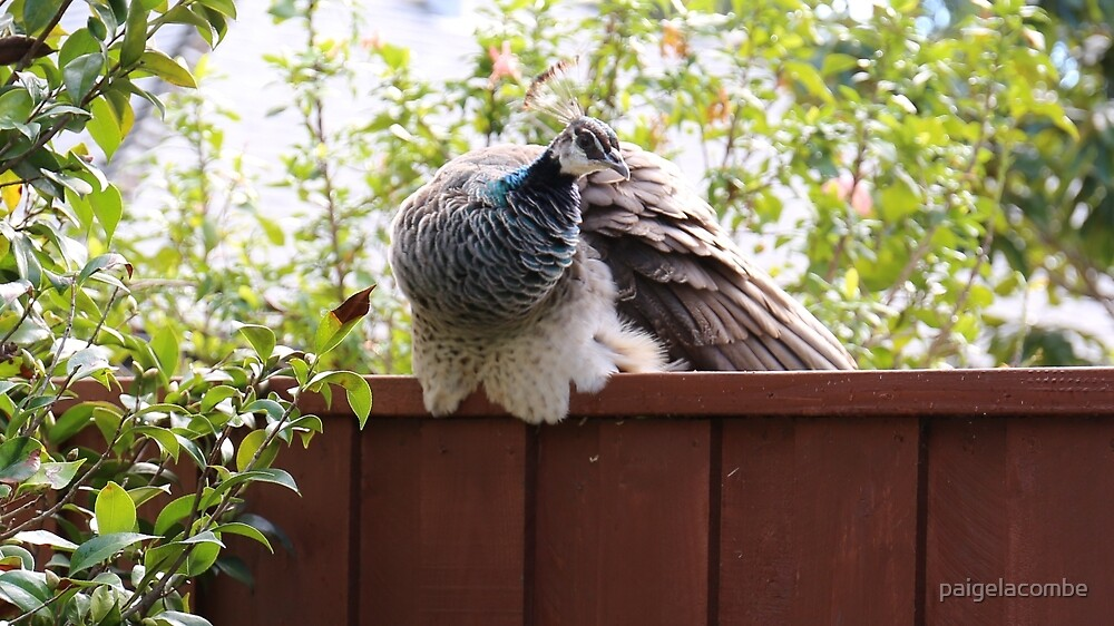 Peahen soaking up the sun by paigelacombe