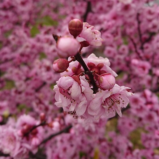 Pink Blossoms by PaulCoore