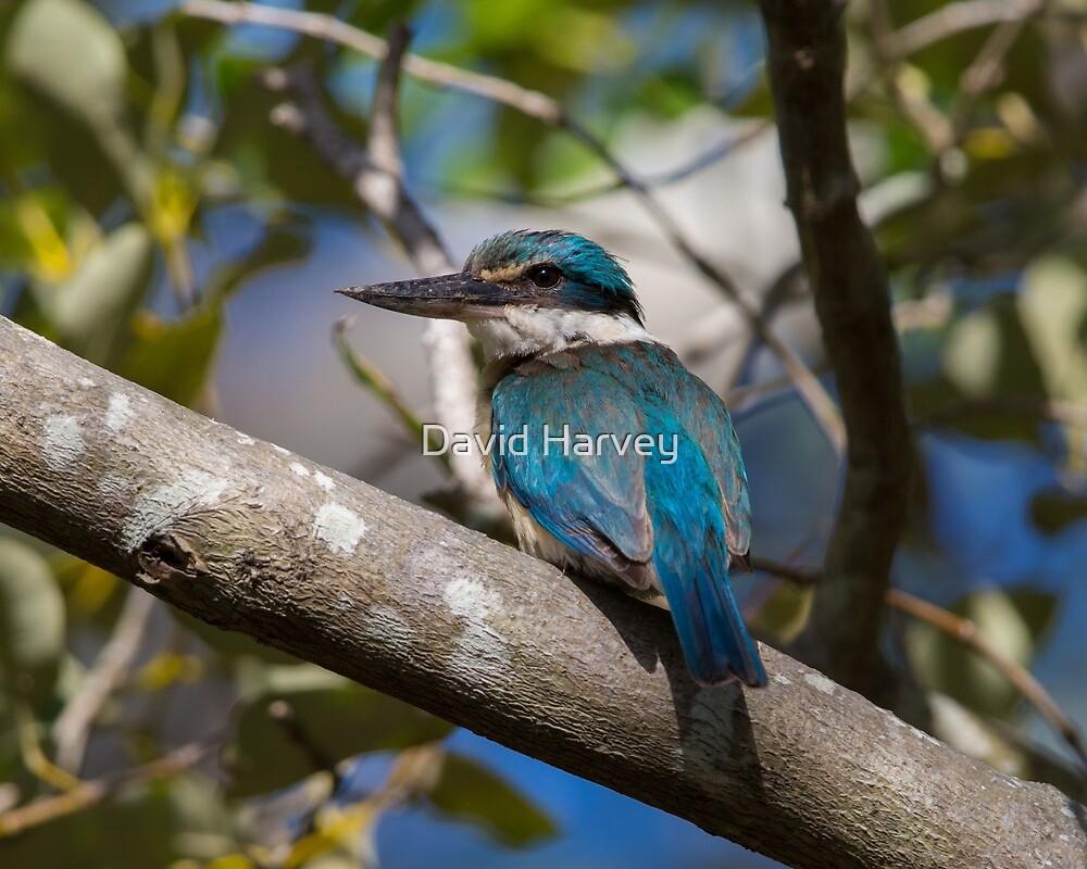 Sacred Kingfisher  by David Harvey