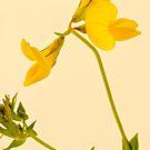 Birds Foot - Trefoil - Wild Flower Macro by Sandra Foster