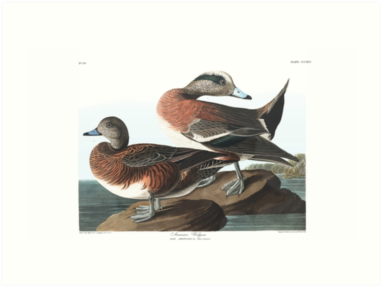 American Widgeon - John James Audubon by billythekidtees
