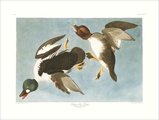 Common Goldeneye - John James Audubon by billythekidtees