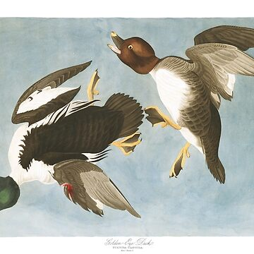 Common Goldeneye - John James Audubon by billythekidtees