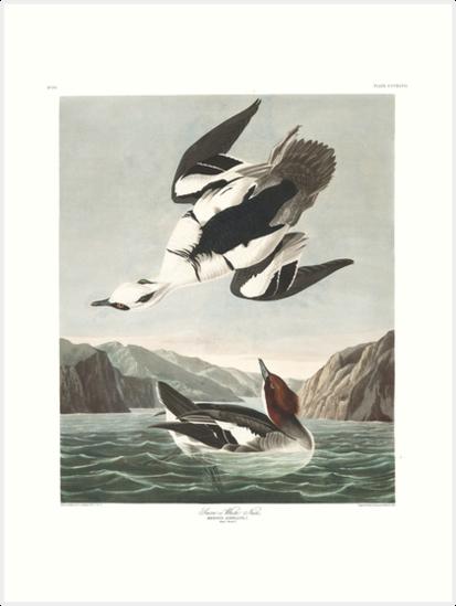 Smew - John James Audubon by billythekidtees