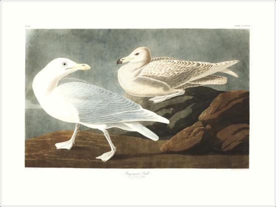Glaucous Gull - John James Audubon by billythekidtees
