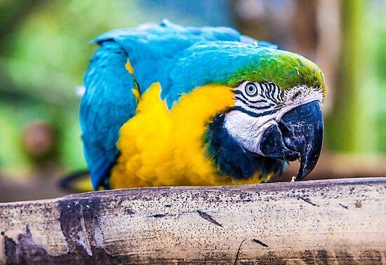 Macaw by Gary Chadond
