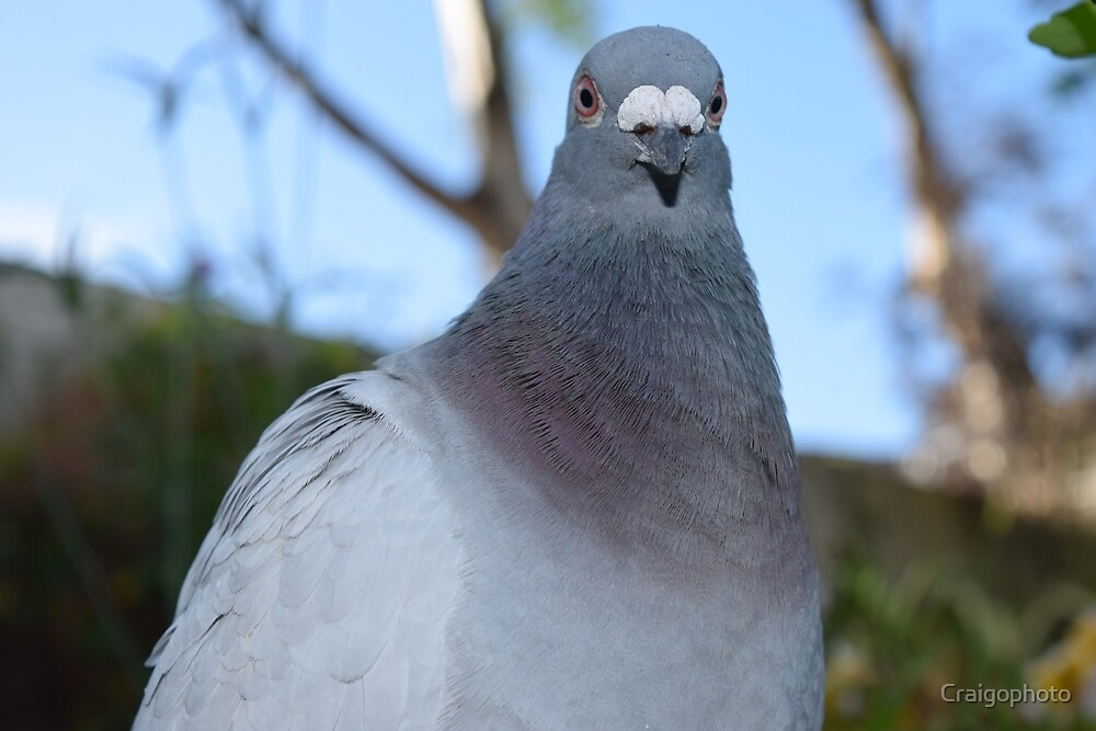 close up of a pigeon by Craigophoto