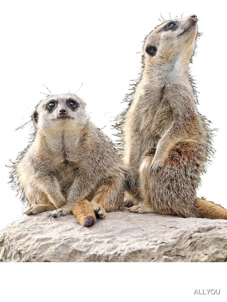 Meerkats by ALLYOU