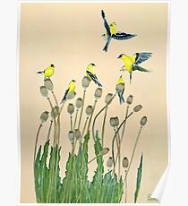 American goldfinches and poppies Poster