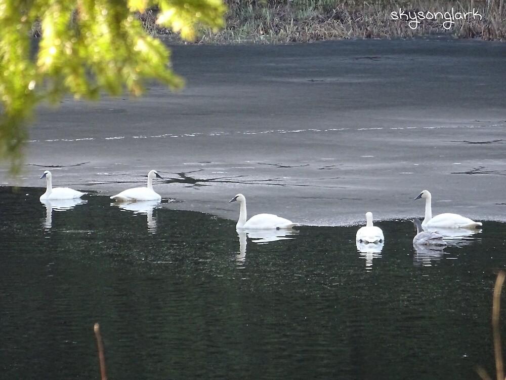 Swans by skysonglark